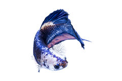 Isolated female betta fish. On white background Royalty Free Stock Photo