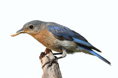 Isolated Female Bluebird On A Perch With A White Background royalty free stock images