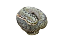 Isolated female common adder Royalty Free Stock Photos