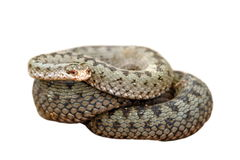 Isolated female common european adder Stock Images