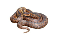 Isolated female european viper Stock Images