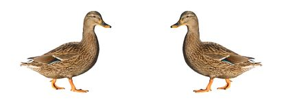 Isolated female mallard duck is reflected on white background A. Nas platyrhynchos Stock Photos