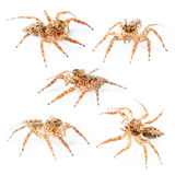 Isolated Female Plexippus petersi Jumping spider Royalty Free Stock Photos