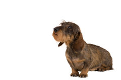 Isolated female portrait of brown dachshund Stock Photo