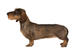 Isolated female portrait of brown dachshund Royalty Free Stock Image