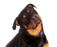 Isolated Female Rottweiler Stock Images