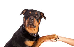Isolated Female Rottweiler Stock Image