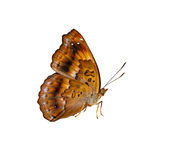Isolated female of siamese black price butterfly Royalty Free Stock Photos