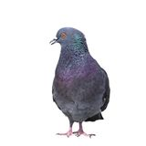 Isolated feral pigeon. Male feral pigeon ( columba livia ) isolated over white background royalty free stock image