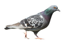 Isolated feral pigeon walking Royalty Free Stock Images