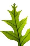 Isolated Fern leaf Stock Image