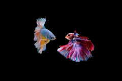 Isolated fighting fishes stare each other on the black backgroun. D, ready to fight Royalty Free Stock Images