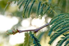 Thorn tree budding Royalty Free Stock Images
