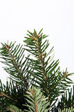Isolated fir branch on white Royalty Free Stock Images