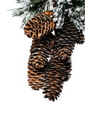 Isolated fir cones on a white background. For a Christmas design Royalty Free Stock Photos
