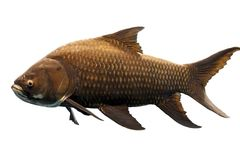 Isolated Fish. Full body shot of a huge fish isolated Royalty Free Stock Photos