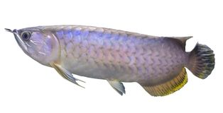 Isolated fish, Arowana. Isolated fish Arowana or Isolated Asian bonytongue Arowana. Science name is Scleropages formosus Royalty Free Stock Photos