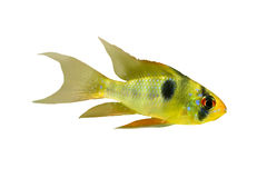 Isolated fish with black points Royalty Free Stock Photos