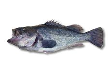 Isolated fish,  clipping path. Fish (blue sea ruff) isolated on white, clipping path included Stock Images