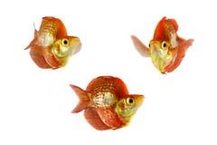Isolated fish. Melanotaenia boesemani male isolated on white background royalty free stock photo