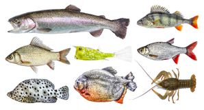 Isolated fish set, collection. Side view of live fresh fish. Rainbow trout, river perch, crucian carp, european roach, horned boxfish, panther grouper, red Stock Image