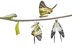 Isolated five bar swordtail butterfly life cycle (antiphates pom stock photography