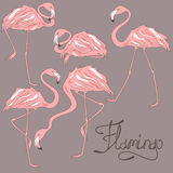 Isolated flamingos in different positions Stock Photography