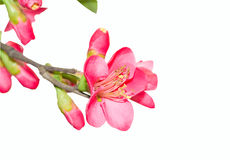 Isolated flower Royalty Free Stock Image