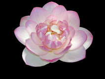 Isolated Flower. Isolated Pink Water Lily on Black Background stock photos
