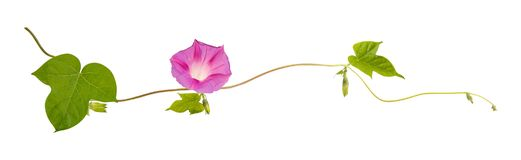 Isolated flower of Convolvulus or bindweed Royalty Free Stock Photo