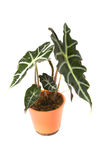 Isolated flower in pot. Alocasia Polly royalty free stock photo