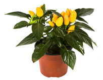 Isolated flower in pot Stock Photography