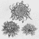 Isolated flower set. Silver chrysanthemums. Royalty Free Stock Photos