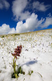 Isolated flower in the snow Stock Image