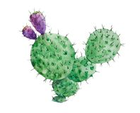 Isolated flowered cactus. Watercolor drawing Stock Images