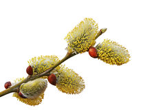 The blossoming branch of a willow. Royalty Free Stock Image