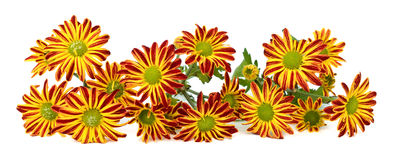 Isolated flowers. Colorful daisies isolated on white background Stock Image