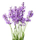 Lavender flowers isolated on white background Stock Images