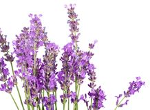 Lavender flowers isolated on white background Stock Photography