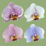 Isolated flowers of orchids. Royalty Free Stock Images