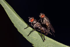 Isolated fly having sex on the black background Royalty Free Stock Image