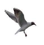 Isolated flying black-headed gul Royalty Free Stock Photography