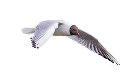 Isolated flying black-headed small gull Stock Photo