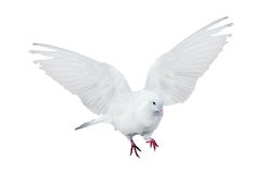 Isolated flying pure white dove Stock Photos