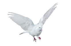 Isolated flying white dove Royalty Free Stock Images