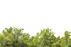 Isolated Forest Tree Background Royalty Free Stock Photo