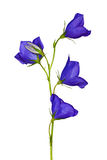 Isolated four flowers blue campanula Royalty Free Stock Photos