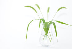 Isolated foxtail grass in the cup Stock Image