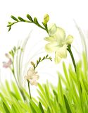 Isolated freesia in grass Stock Photos