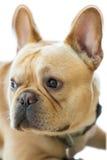 Isolated French Bulldog Head. Royalty Free Stock Photography